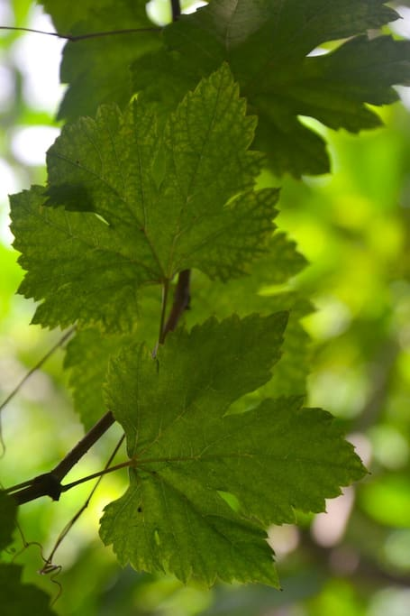 Through the Grapevine leaves...