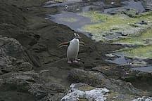 Curio Bay Pengy