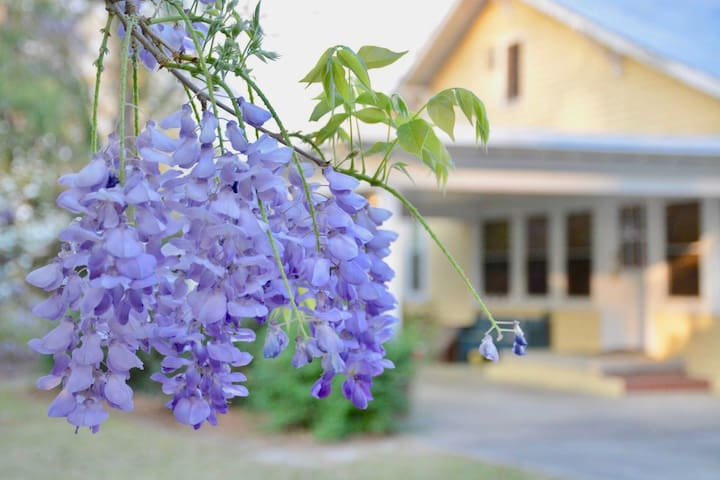 Wisteria in Bloom!