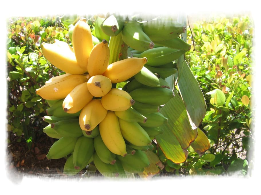 Make your own smoothie from our organic bananas