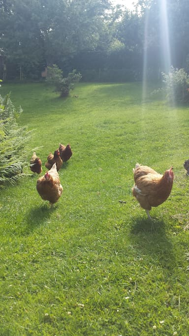 Chickens enjoying a sunny day - but will be kept in their own enclosed area when hosting guests.