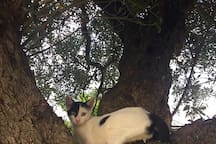 Cat on the olive tree