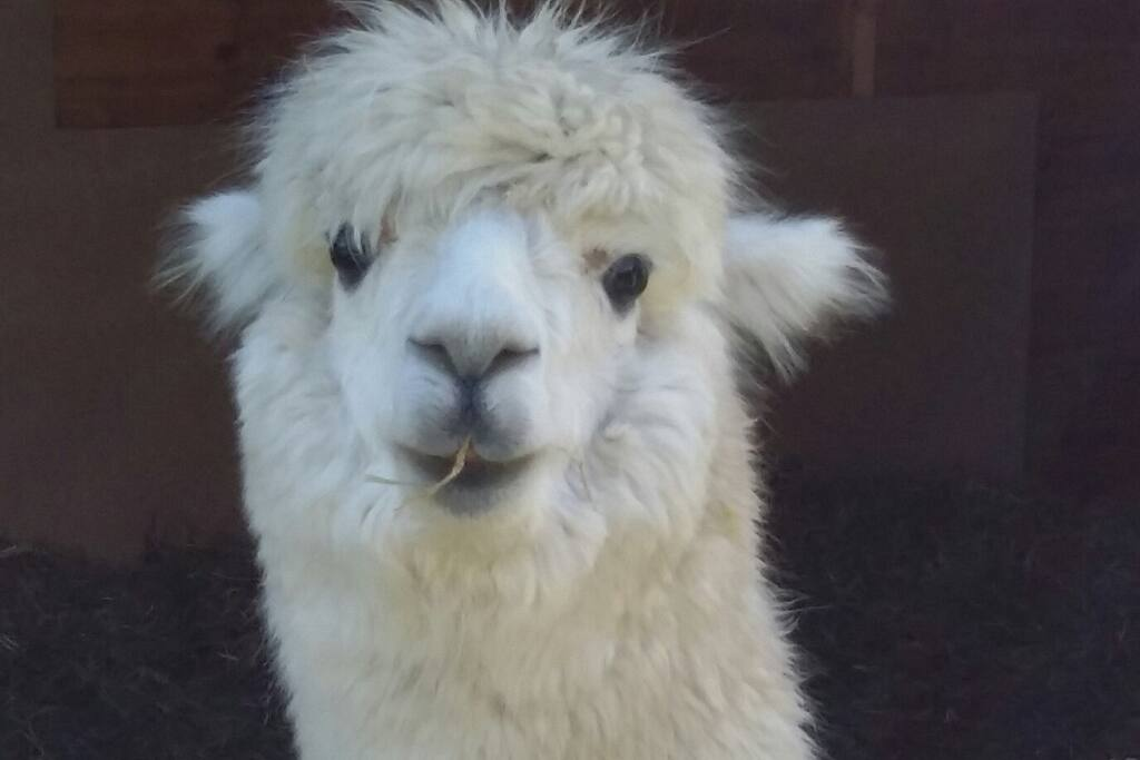 Dorcas, one of our alpacas