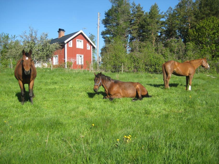 hästhagen precis utanför fönstret/horses graze outside your window