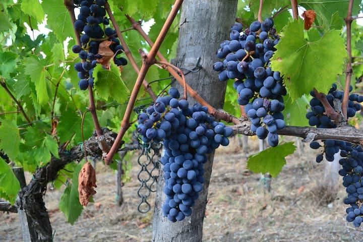 Sangiovese Grape
