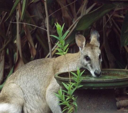 Morning visitor. The Bridled Nailtail Wallaby