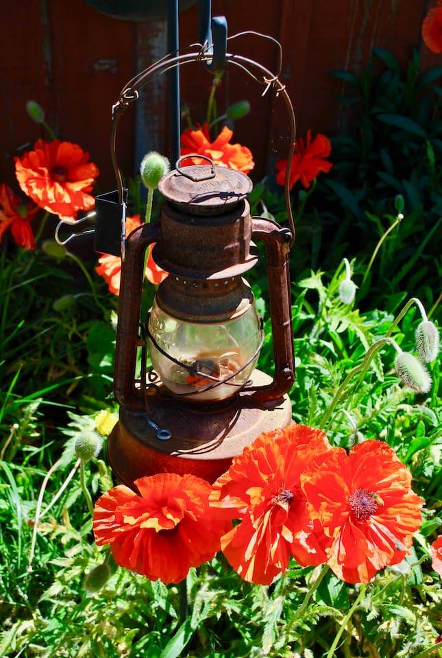 Oriental poppies each summer