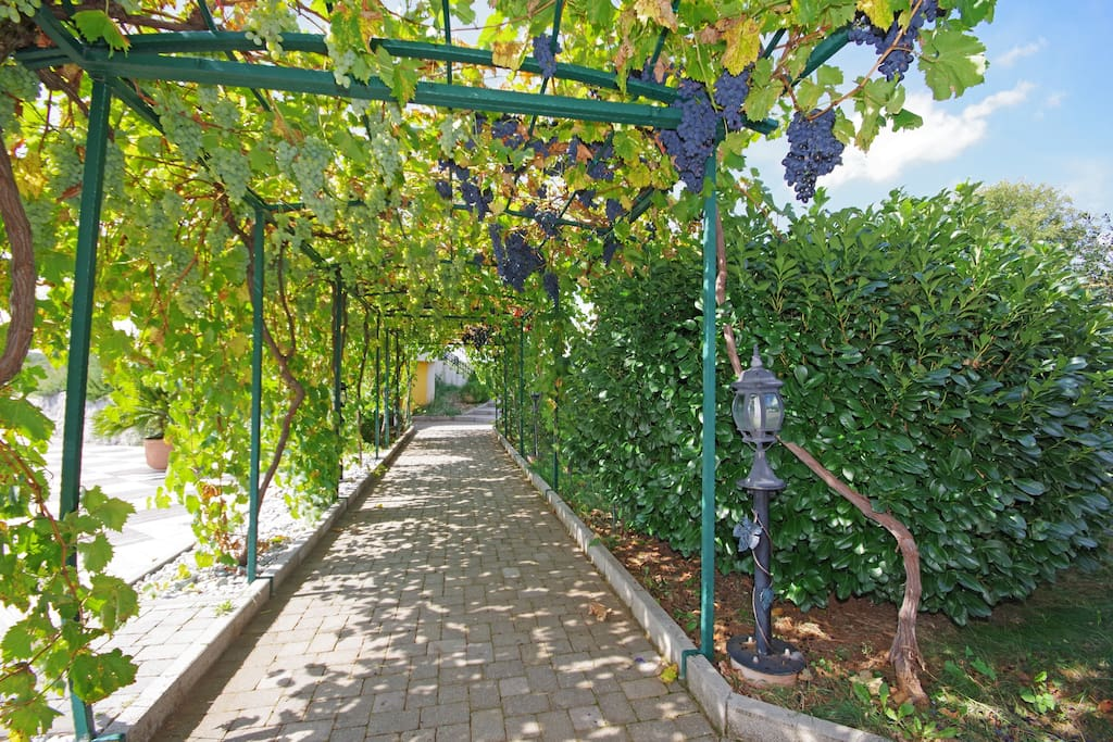 passage throught the grapes