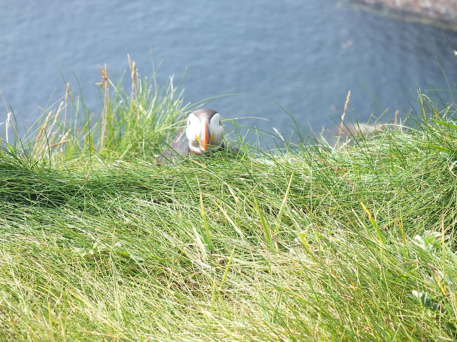 Puffin at Sumburgh Head