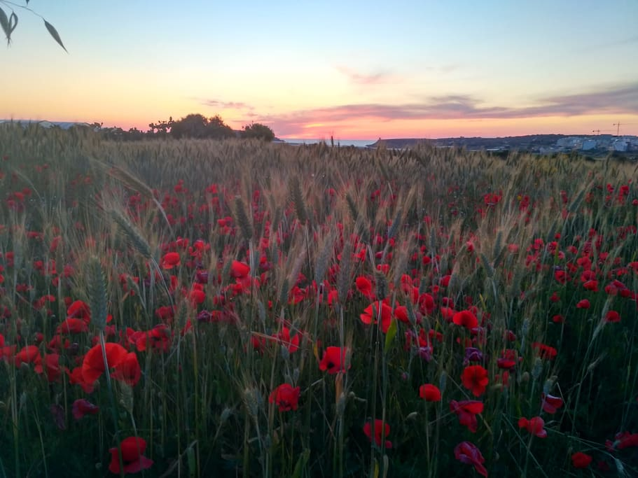 Sunset over nearby poppy fields (Summer is approaching!)