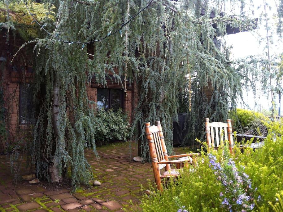 Weeping blue cedar on the east patio.