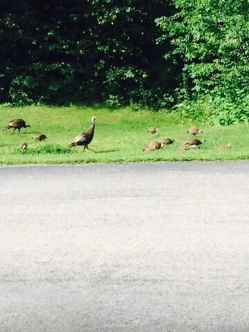 Wild Turkeys often frequent!