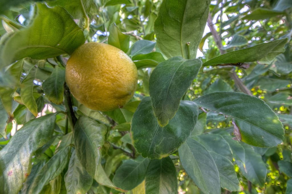 Please help yourself to our Lemon tree