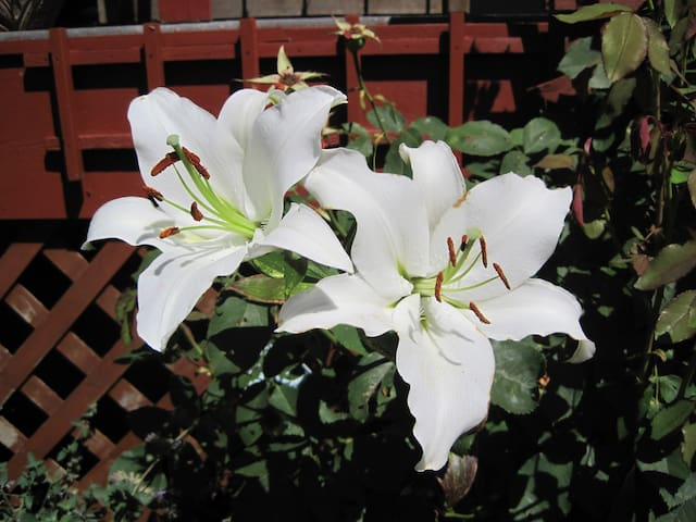 Lillies blooming in front.