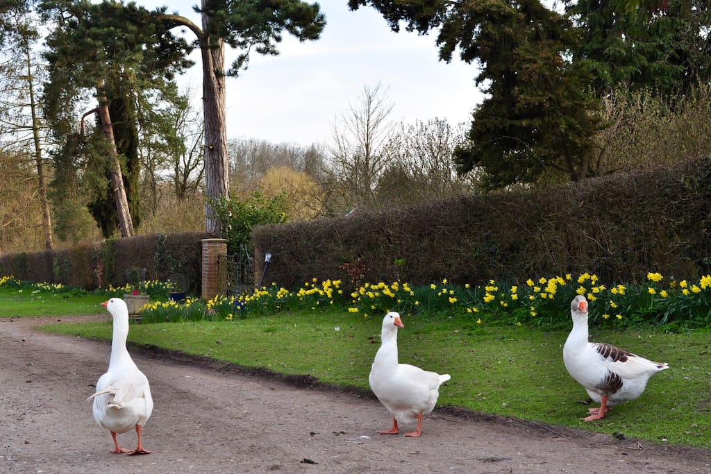 We have resident geese & guinea fowl.