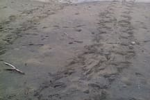 Turtle tracks. Missed the turtle, but found the nest