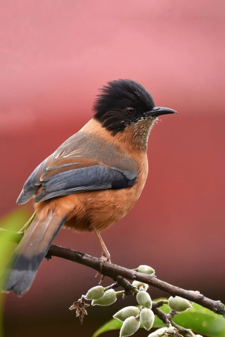 Rufous sibia- Birds of the Himalayas