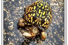I stopped traffic to save this box turtle who was eating a locust, I gently placed her on the side of the road with out her dropping her feast