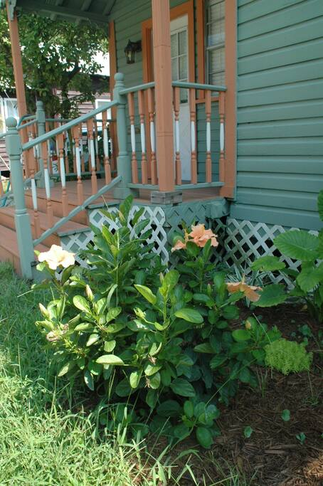 Hibiscus plants in front garden near front porch.
