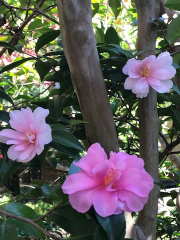 May 2019 Sasanqua camellias (Jennifer Susan and Something Special)