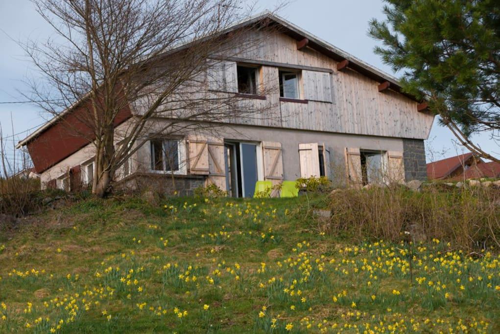 Vue de la maison plein sud , champs de jonquilles en Avril