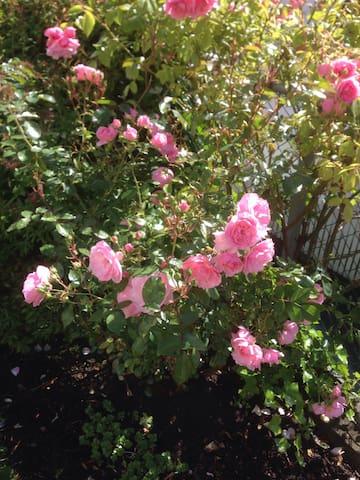 Roses in the garden in summer