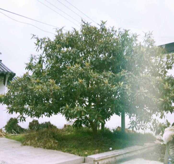 自家年产200斤的枇杷树