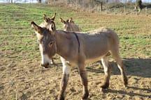 the farm - amiata donkeys