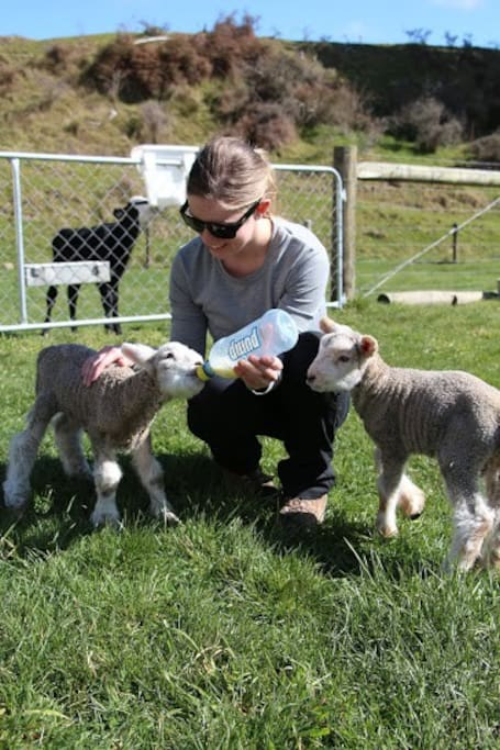 Bottle feeding lamb