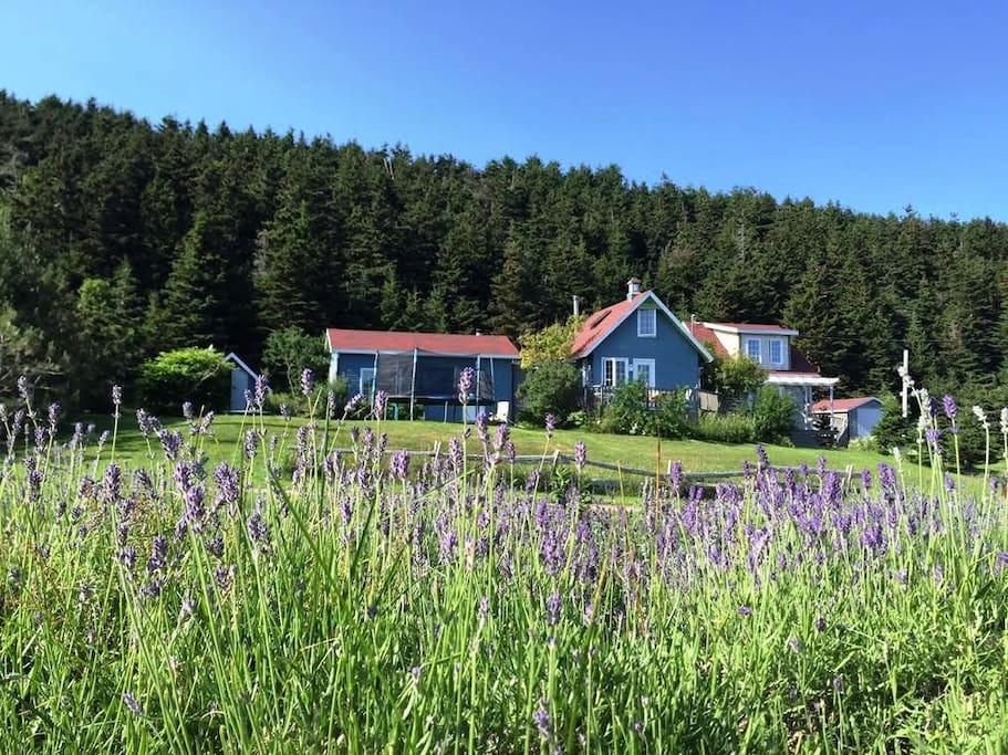 La maison vue du champ de lavande - House and lavender field