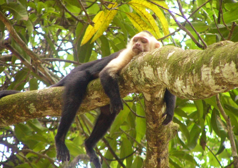 White-faced monkey relaxing in the property