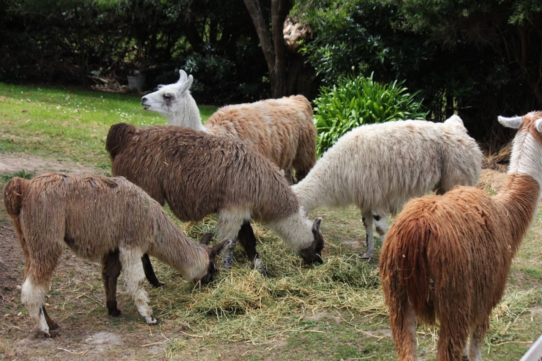 llamas are curious