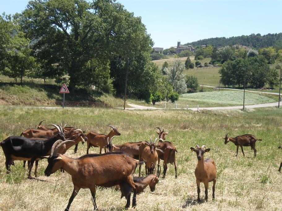 Notre village provençal propose et fabrique des fromages de chèvre naturels et artisanaux