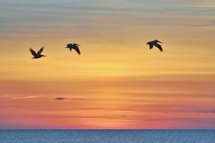 Morning flight of pelicans.