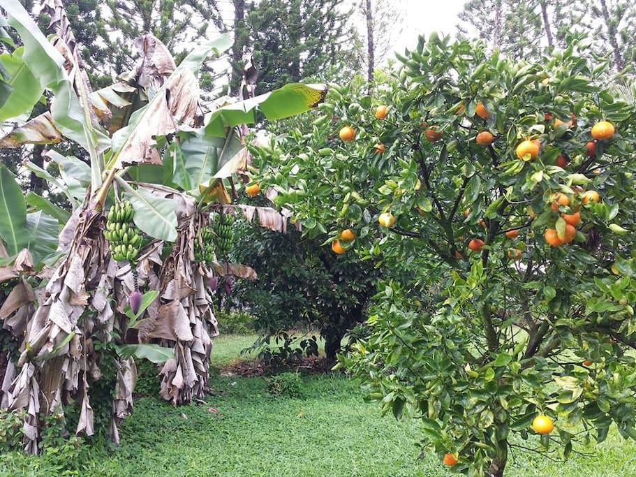 Tangerines are getting ripe