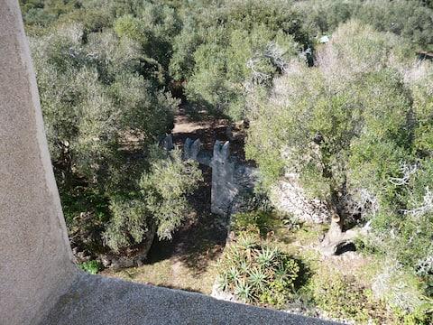 Pisantårnet i Casella olivenlund
