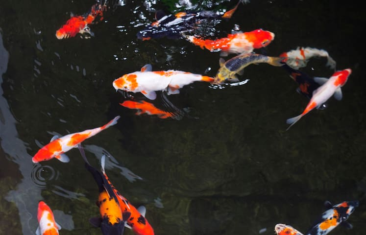 We have multi-colored koi fish swimming in the pond beside the diningroom.