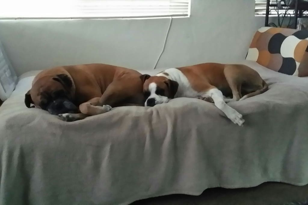 Our Beautiful Boxer Dogs chilling out at our home