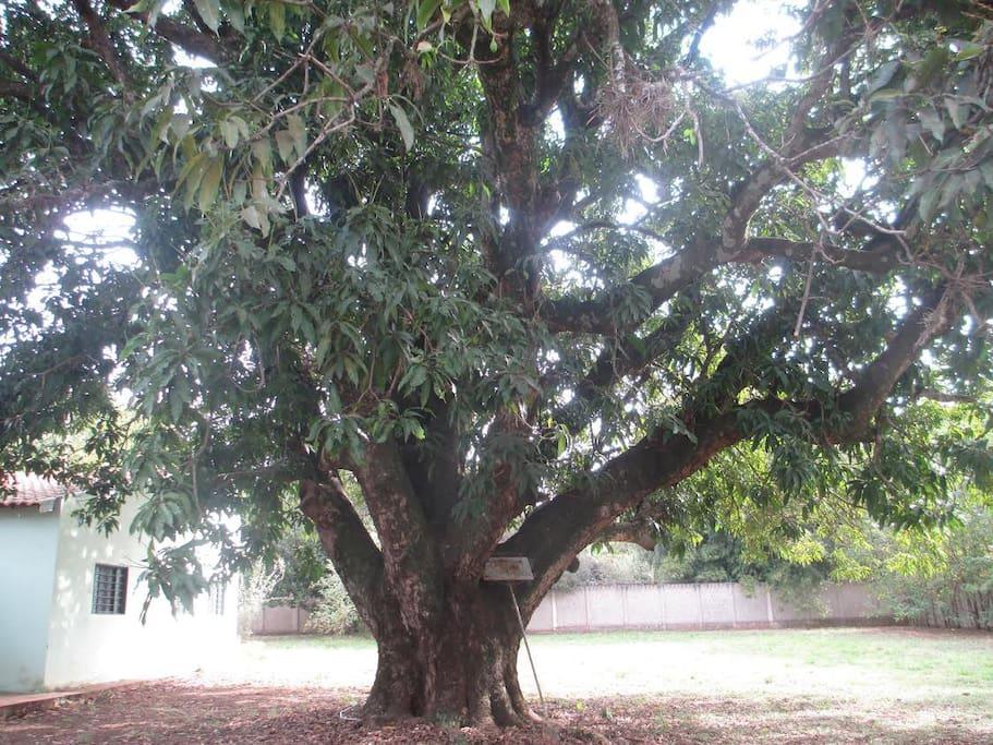 Árvore mangueira com 6 metros de circunferência