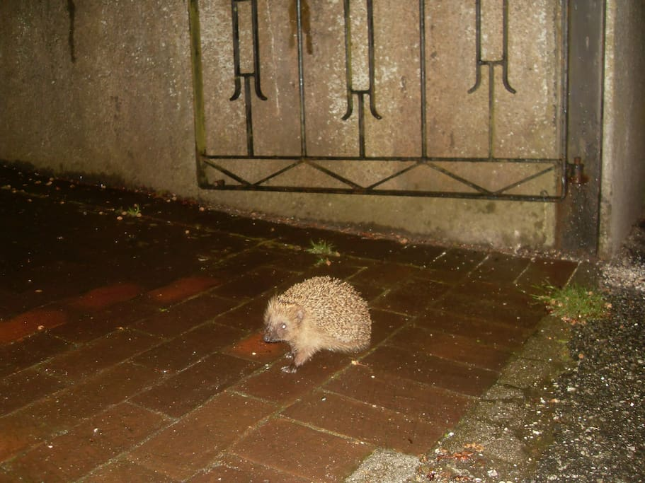 A little hedgehog was looking for accommodation, and came by my place...