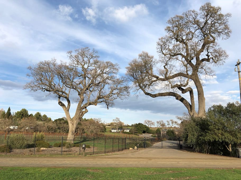 These two massive Valley Oak Trees greet you as you arrive at the property.  Combined, they are over 750 years old!