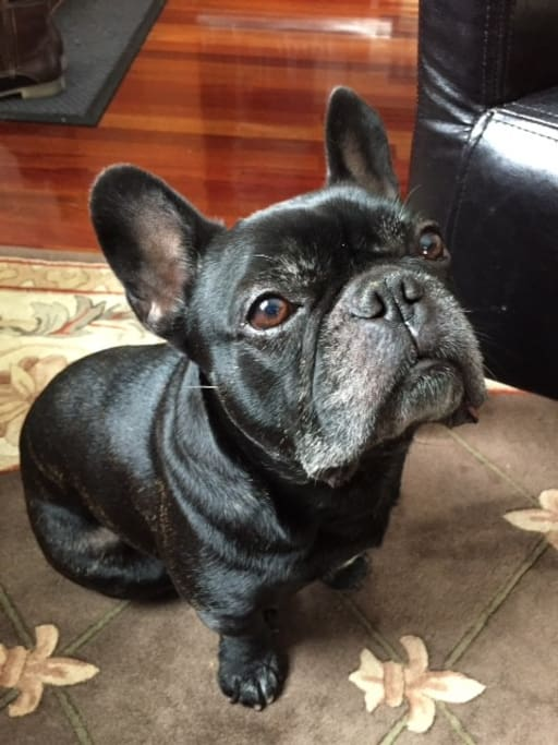 Buddy my frenchie
