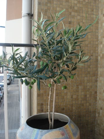 Real Olive Tree... with olives