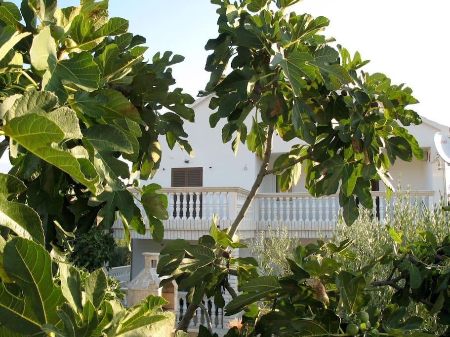 Der Feigenbaum, der der Villa Smokvica (Feige auf kroatisch) den Namen gab
