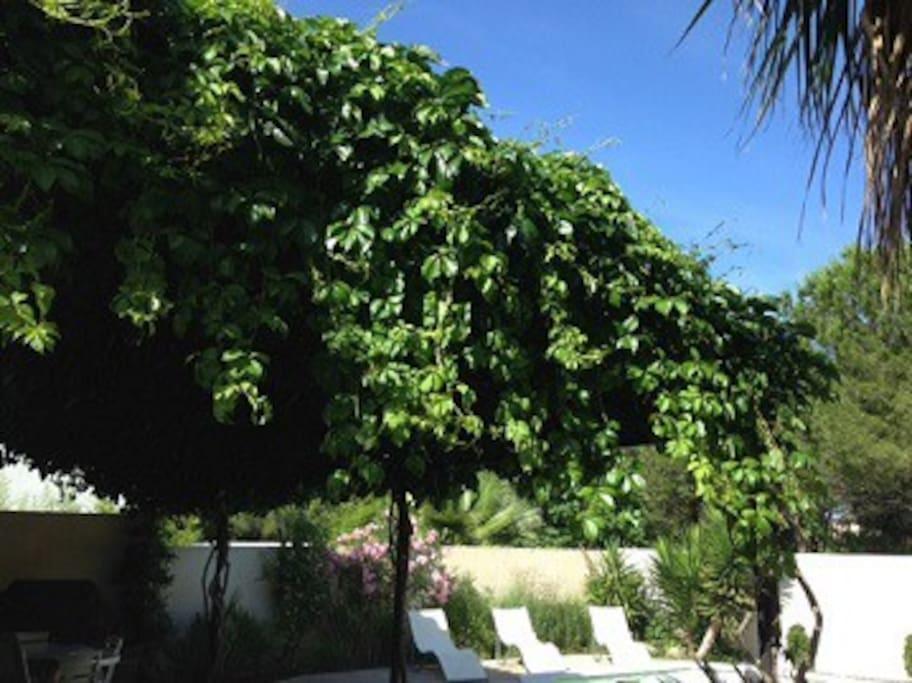La vigne vierge de la tonnelle abrite du soleil ardent
