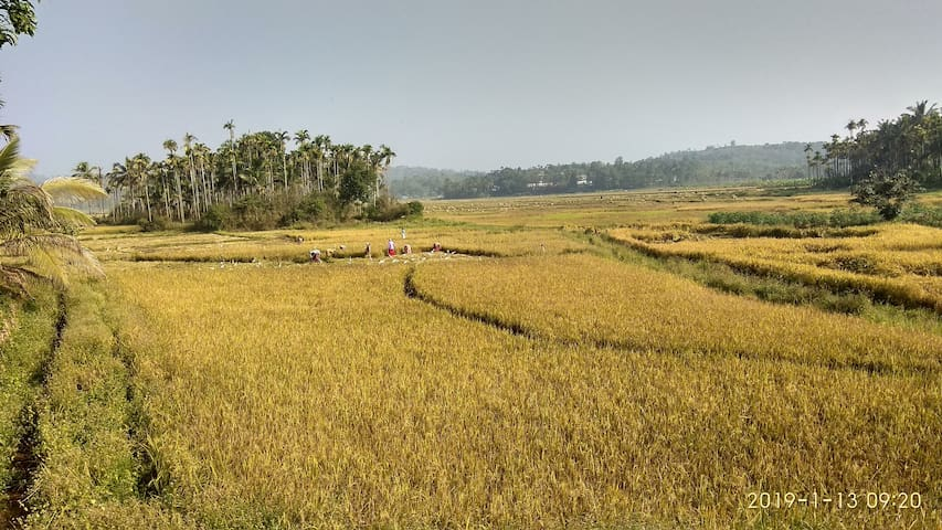 Harvesting in the paddy field right across the road from us