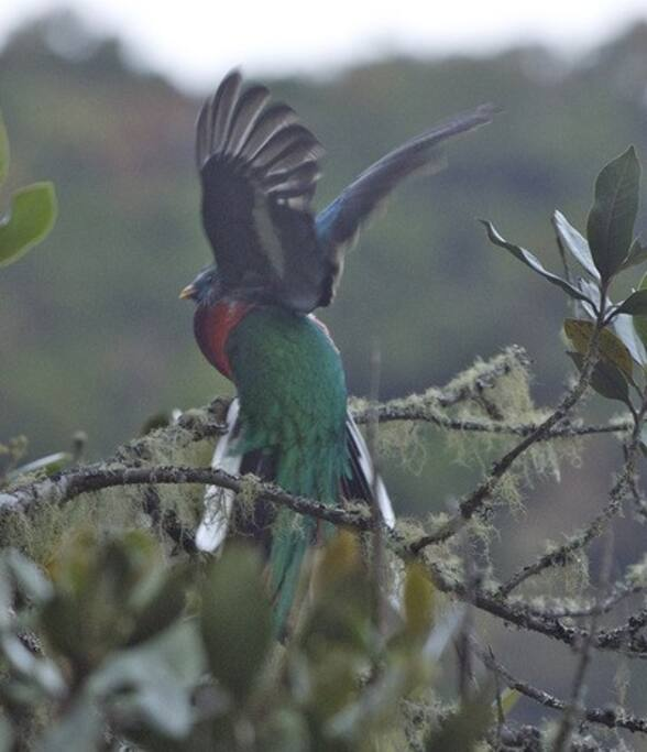 Male Quetzal Taking Off