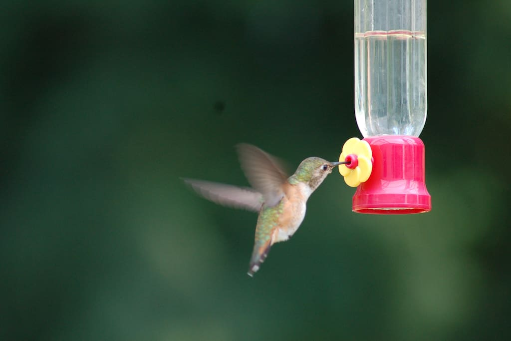 Our resident hummingbirds