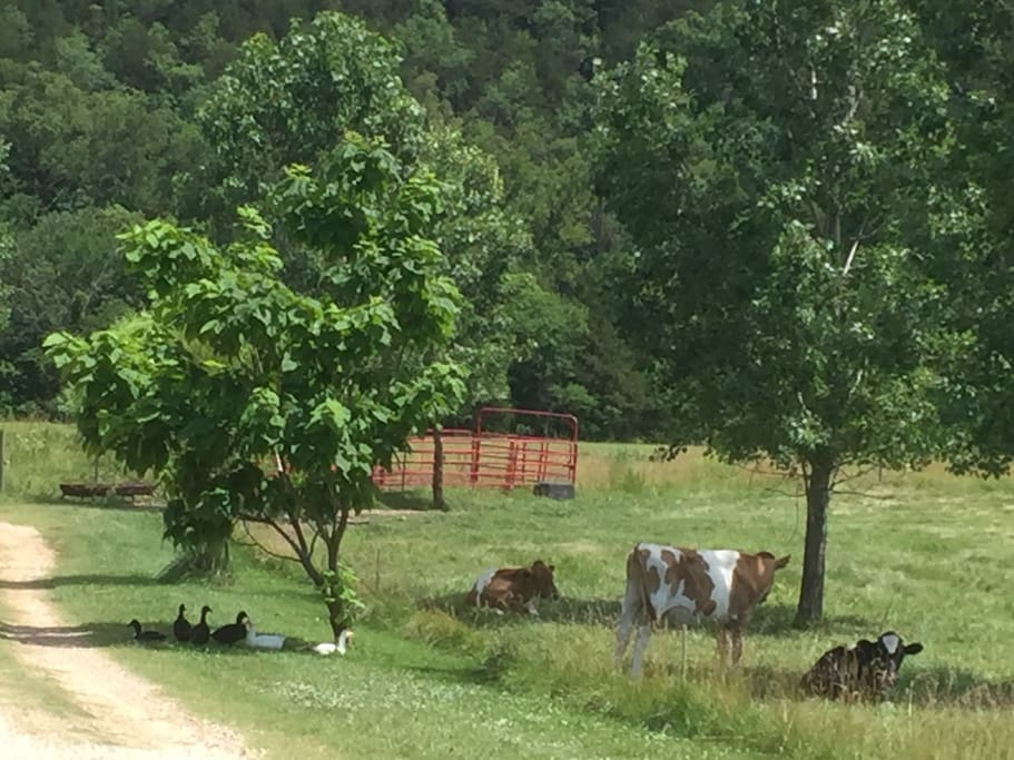 Ducks and dairy steers keeping company in a shady spot on the farm .