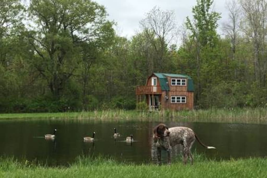 This is Mortimer aka Mortie with some friends by the Pond with the Little House in the background.